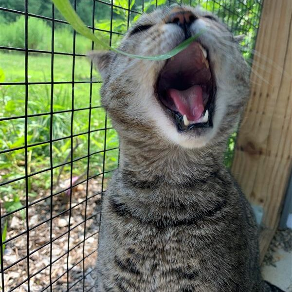 Captain Crunch knows that catio time equals grass time! Yum!